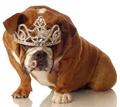 Tiaras for Bulldogs